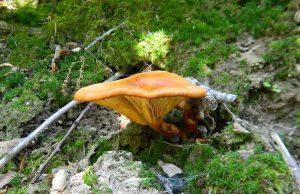 Der Dunkle Ölbaum-Trichterling kann leicht mit dem Eierschwammerl verwechselt werden.Fotocredit: JovanaK / CC BY-SA (https://creativecommons.org/licenses/by-sa/4.0)